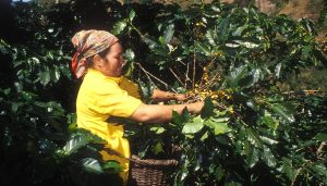 Farmer woman harvesting yellow coffee cherries