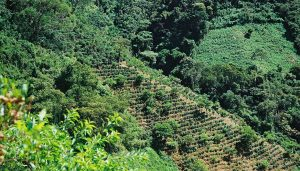 Coffee farm on the side of a hill